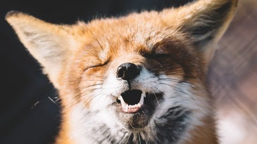 Red fox with eyes closed and teeth bared