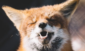 Can I have a pet fox?