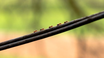 Ants climbing on an electrical wire.