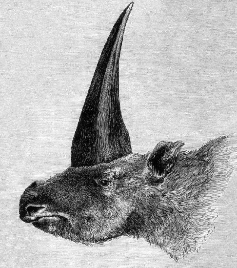 a drawing of a rhino with a very large horn