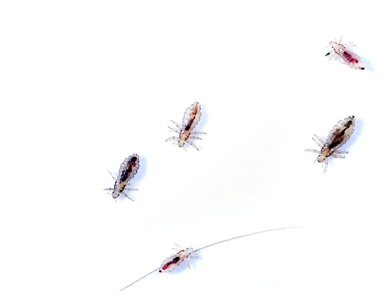 Five head lice on a white background.