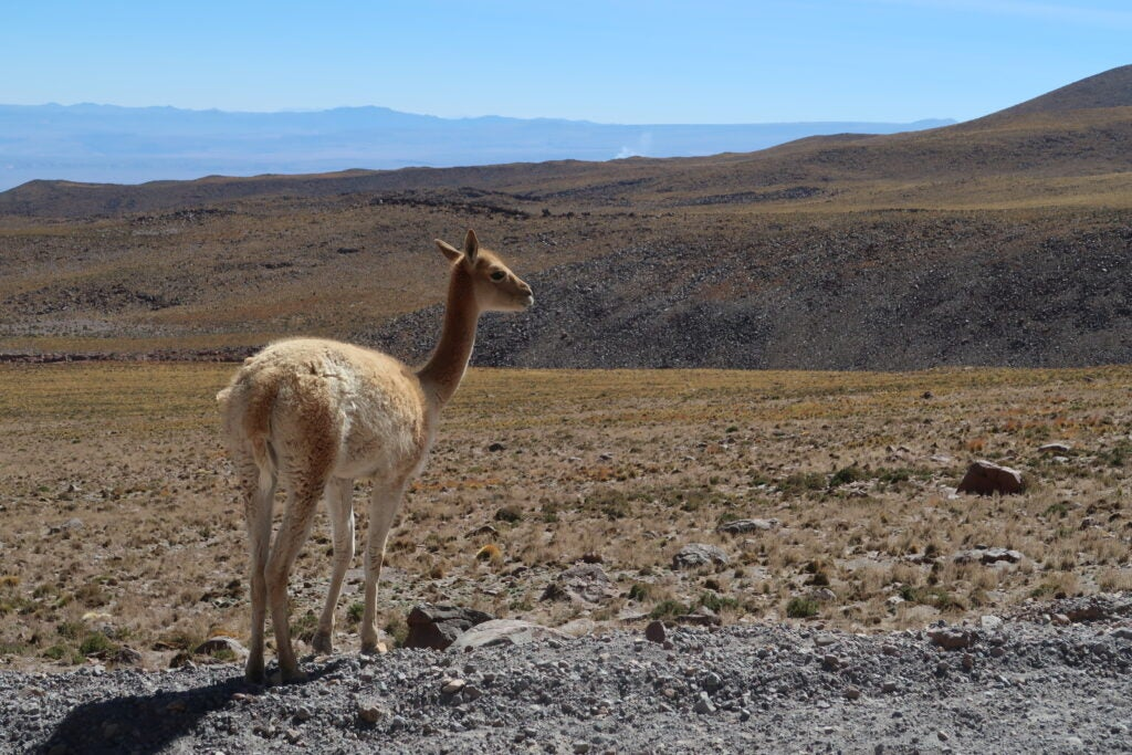 A llama like animal stands beside the road