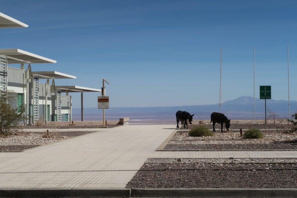 Two donkeys roam the ALMA campus.