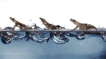 gecko running water