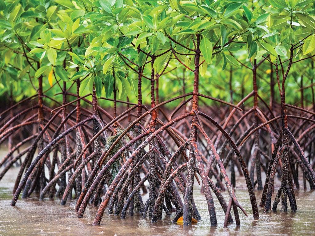 mangrove dams