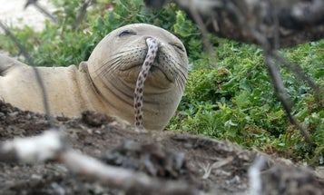 This is a seal with an eel stuck up its nose