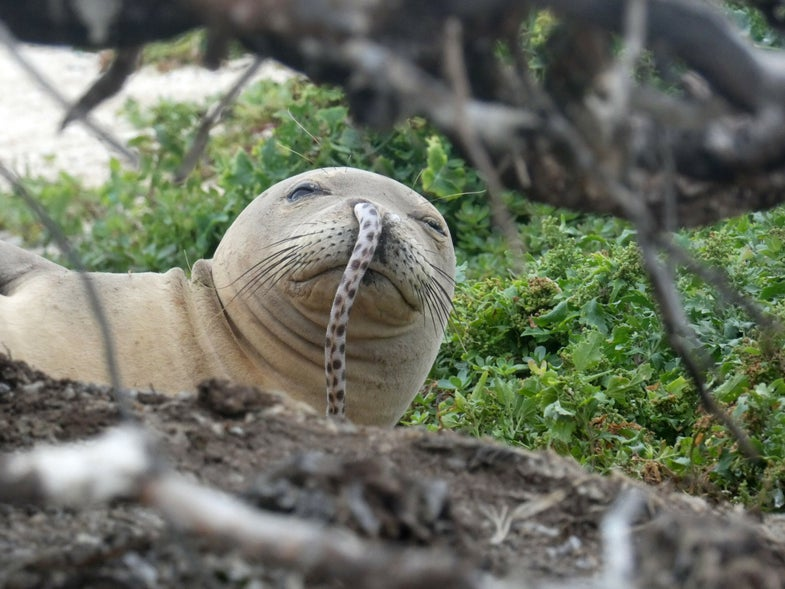 a brown seal has a spotted eel hanging from its nose