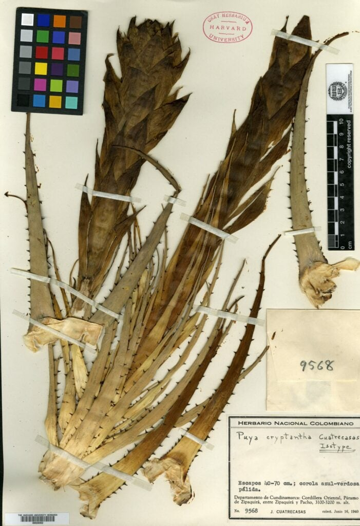 Puya cryptantha plant scan