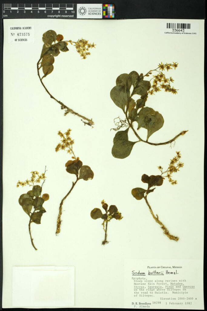 sedum botterii plant scan