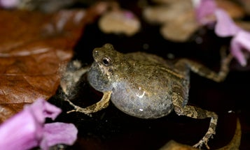 Urban frogs are bringing sexy back—and threatening frogs of the woods