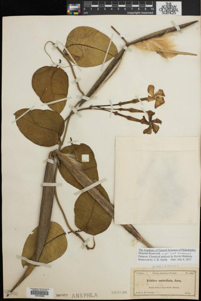 Echites umbellatus plant scan