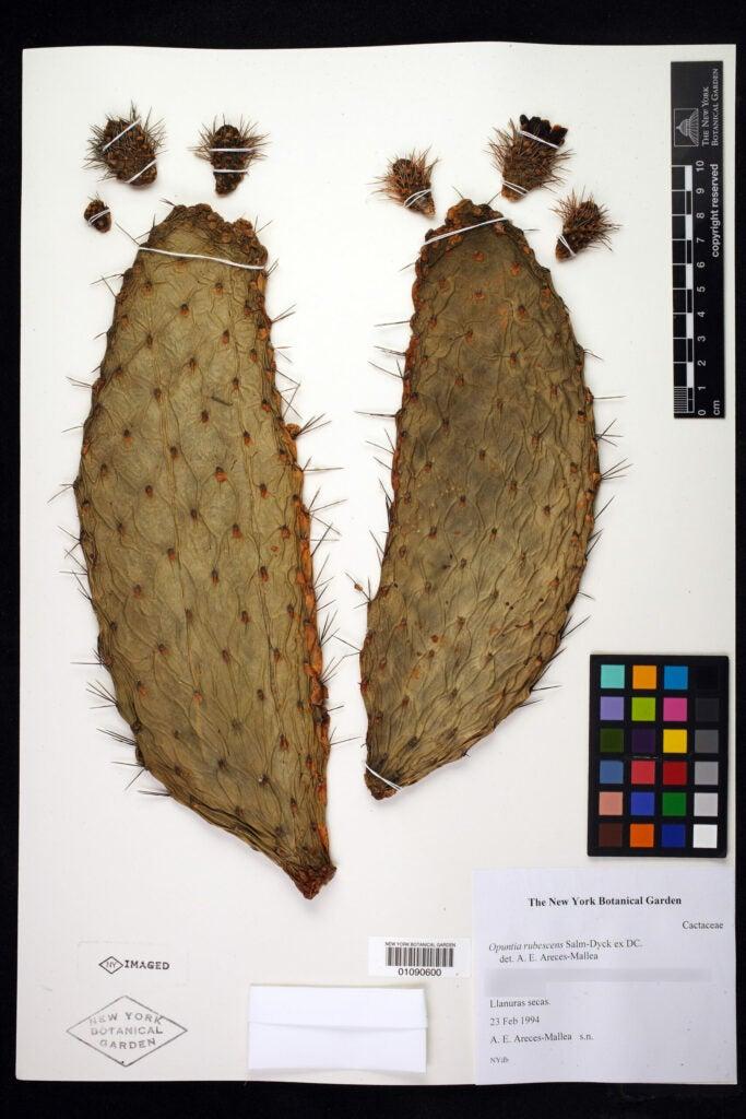 Consolea rubescens plant scan