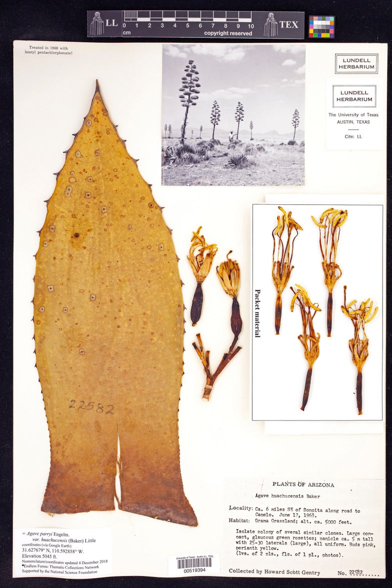 Agave parryi huachucensis plant scan