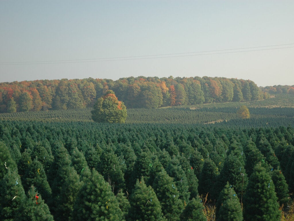 Scotch pines on a Christmas tree farm in northern Michigan