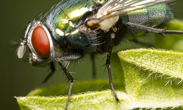 Blow flies helped exonerate a woman of murder 17 years after the fact