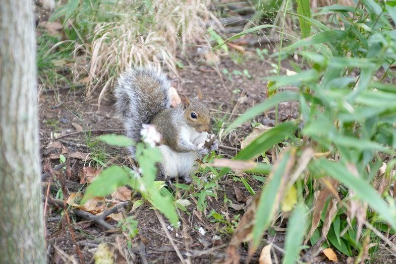 Squirrel Census Central Park