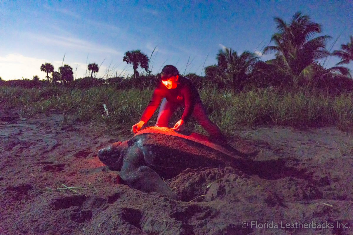 leatherback turtle with a man