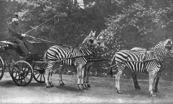 The weirdest things we learned this week: bone flutes, zebra carriages, and laughing gas parties