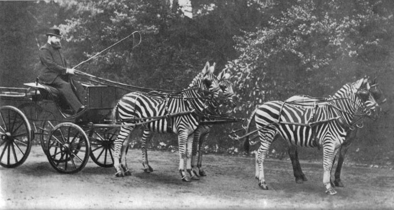 walter rothschild zebra carriage