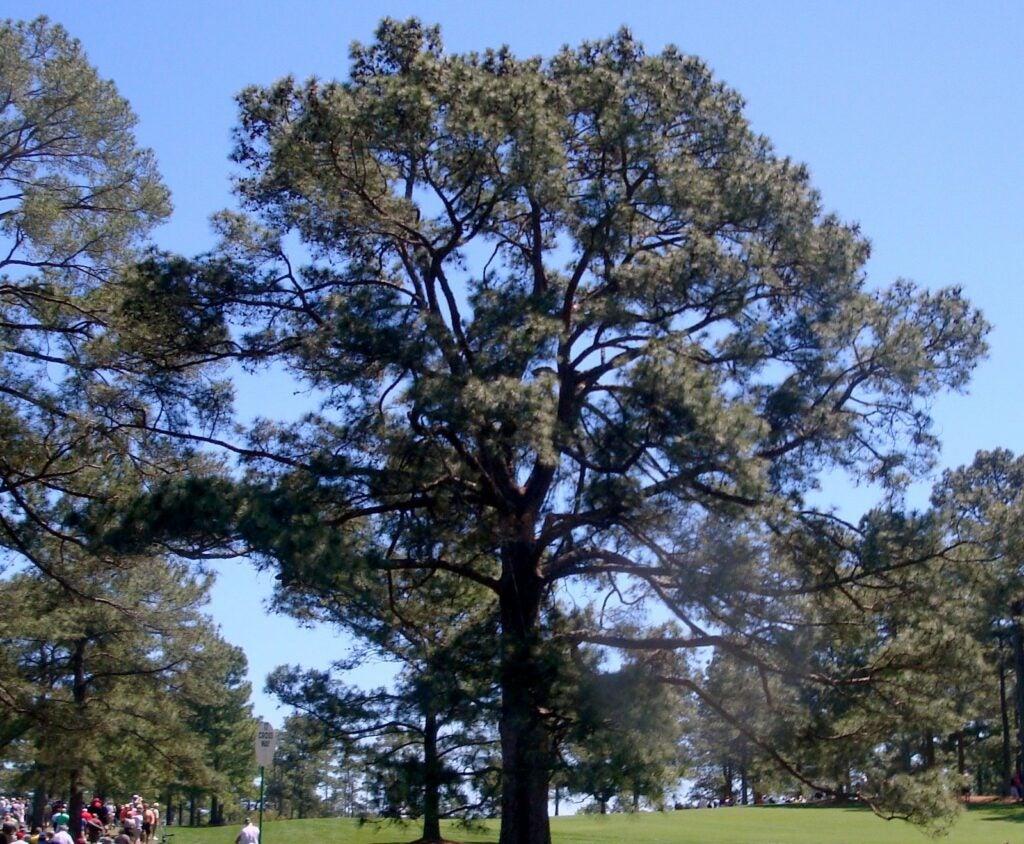 The Eisenhower Tree, Augusta National Golf Club, 2011