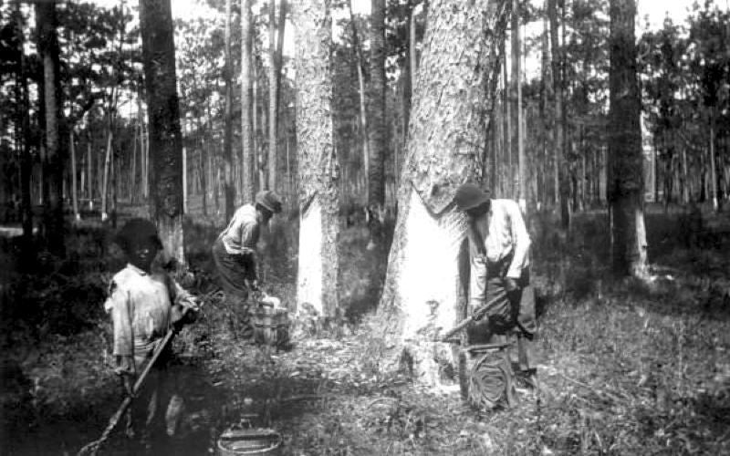 Workers collect sap from boxed pines, c. 1900. Turpentine used to be made from pine resin. More recently, turpentine has been made from fossil fuels.