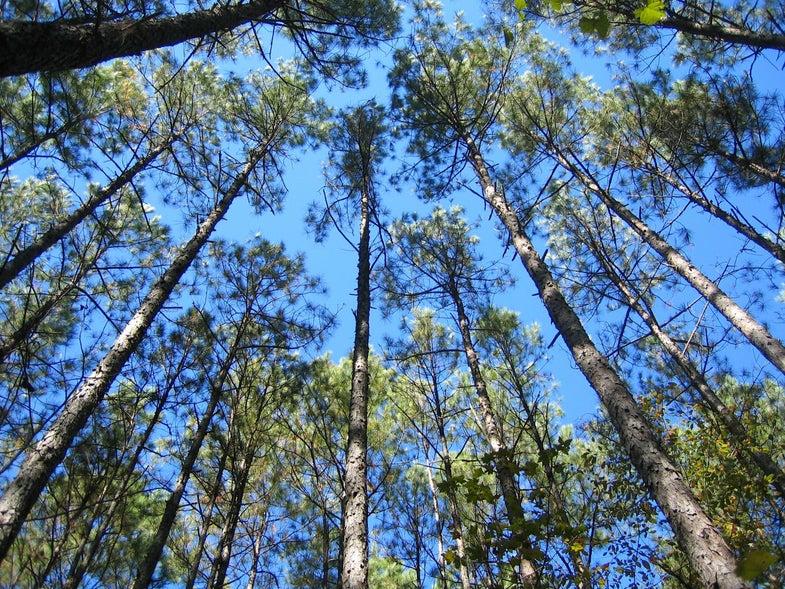 Loblolly pine trees in North Carolina