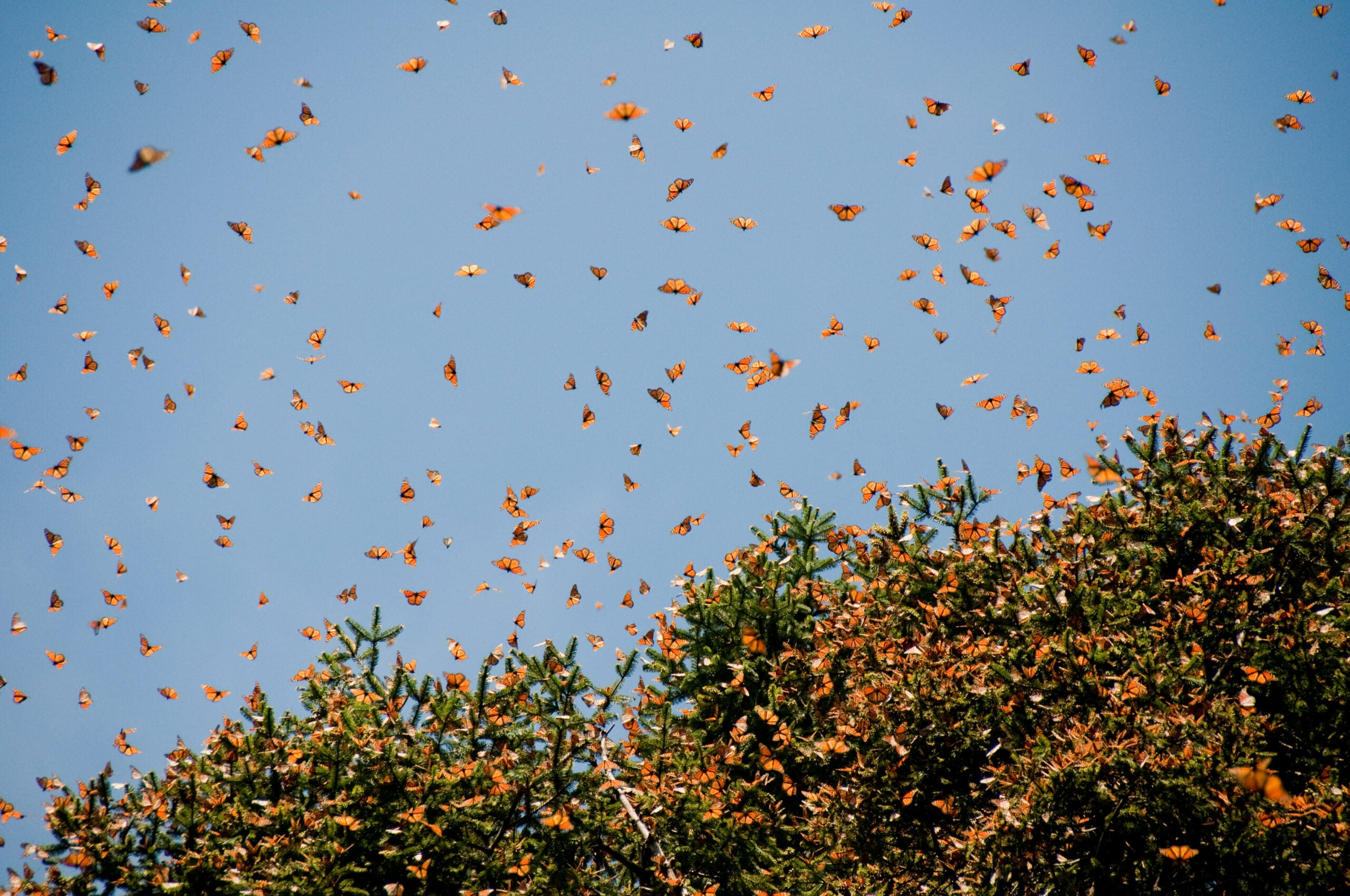 Like your grandparents, monarch butterflies are now wintering in Florida