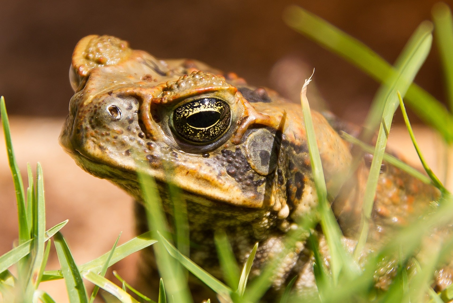 Close-up of a cane toad sitting in grass