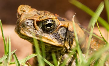Toads on a python, and five other animals hitching rides on bigger animals