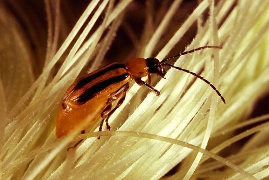 A Rootworm That's Immune to Rootworm Poison