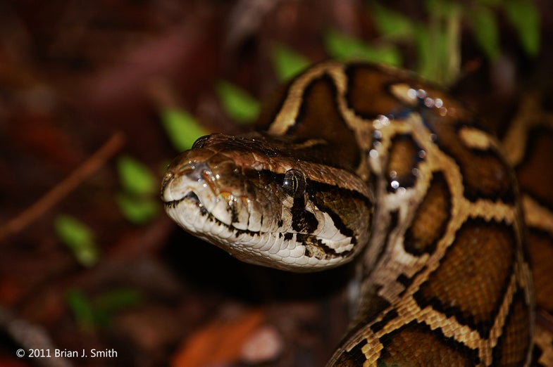 Pythons are invading Florida. Meet the scientists fighting back.