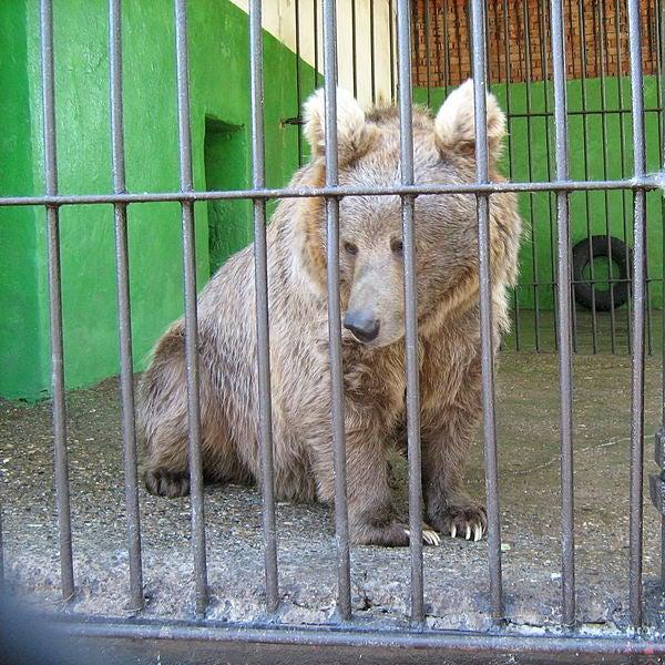 Himalayan Red Bear
