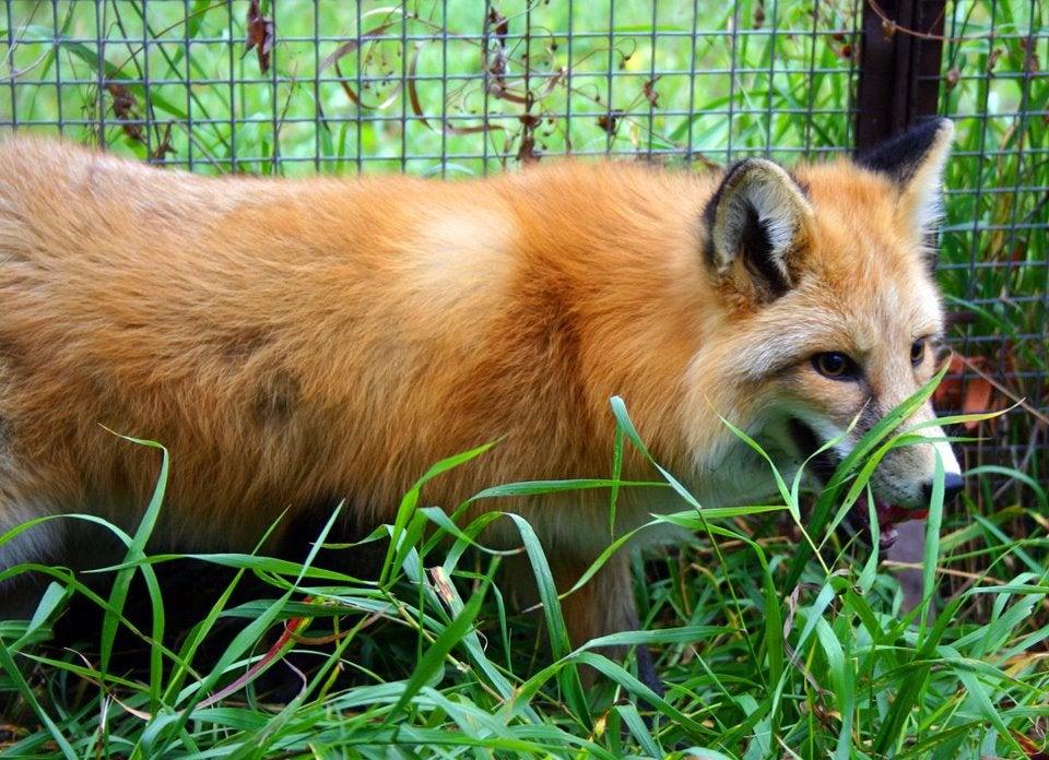 Anya the Fox
