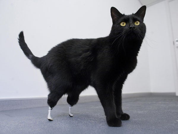 British Amputee Cat First to Get Bone-Grafted Exoprosthetic Paws