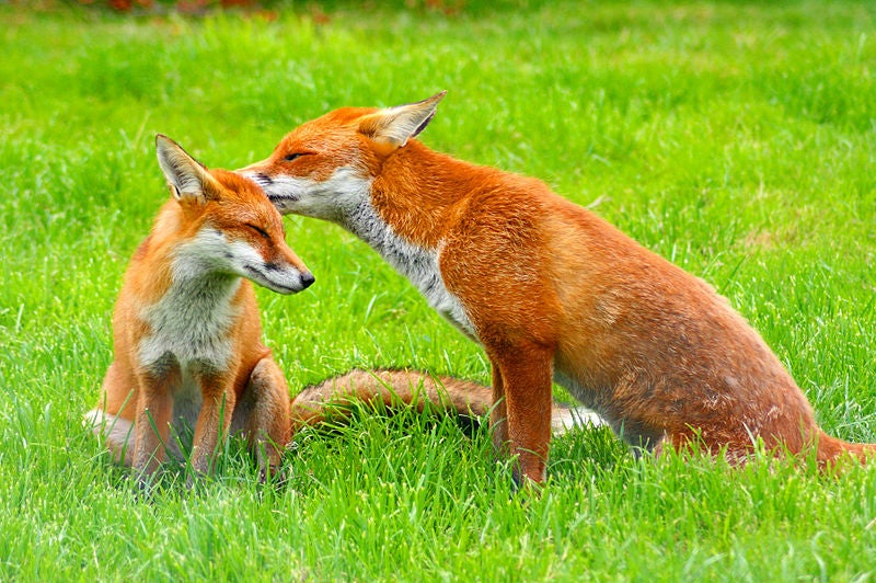 Wild red foxes