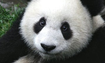 Giant pandas are no longer endangered—but we're not in the clear