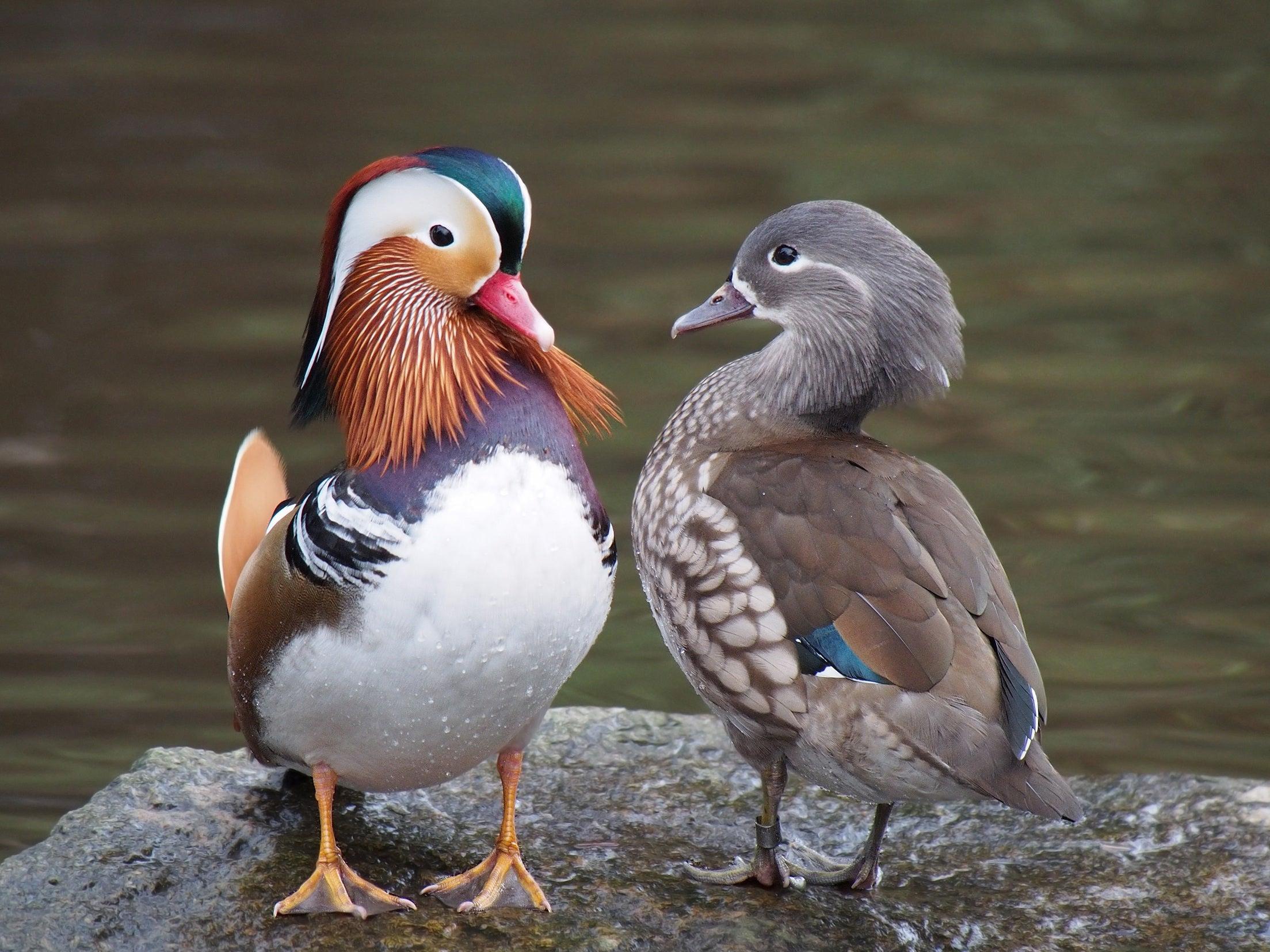 madarin ducks