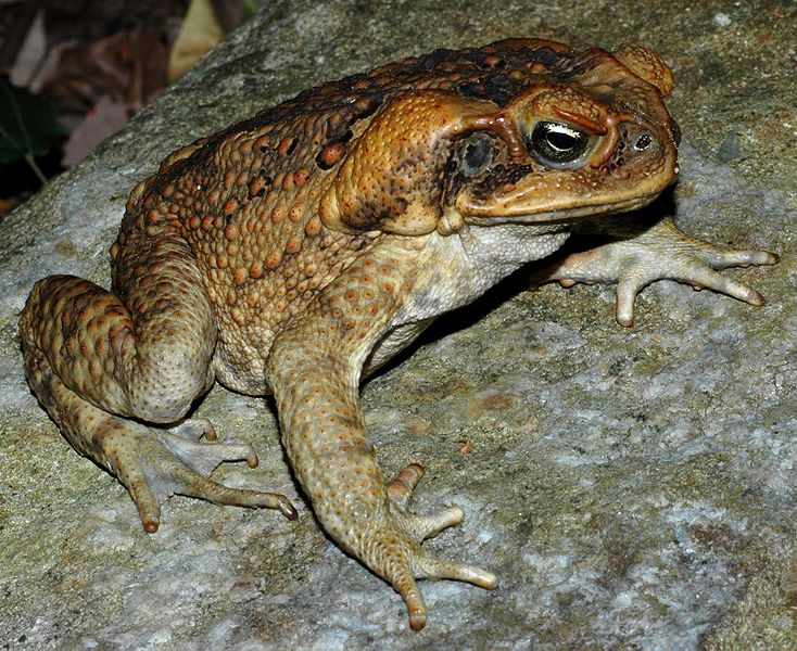 Cane Toads Show Surprisingly Unhealthy Evolution