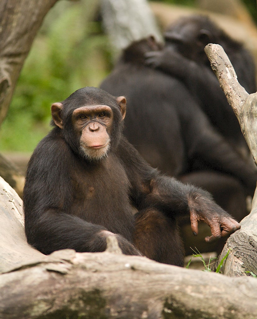 Chimps are Unnecessary for Most Research and Should Be Used Sparingly, Report Says