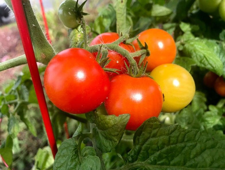 Tomatoes HEIF