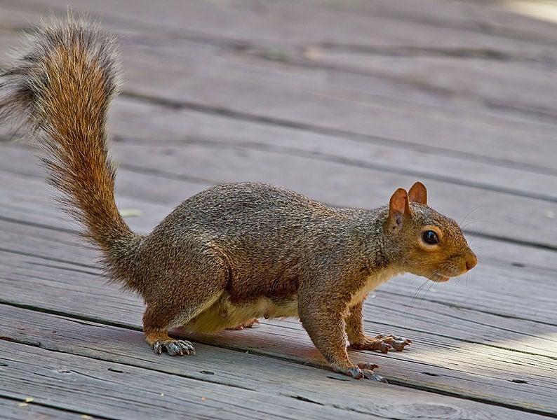 """""""Squirrel"""""""