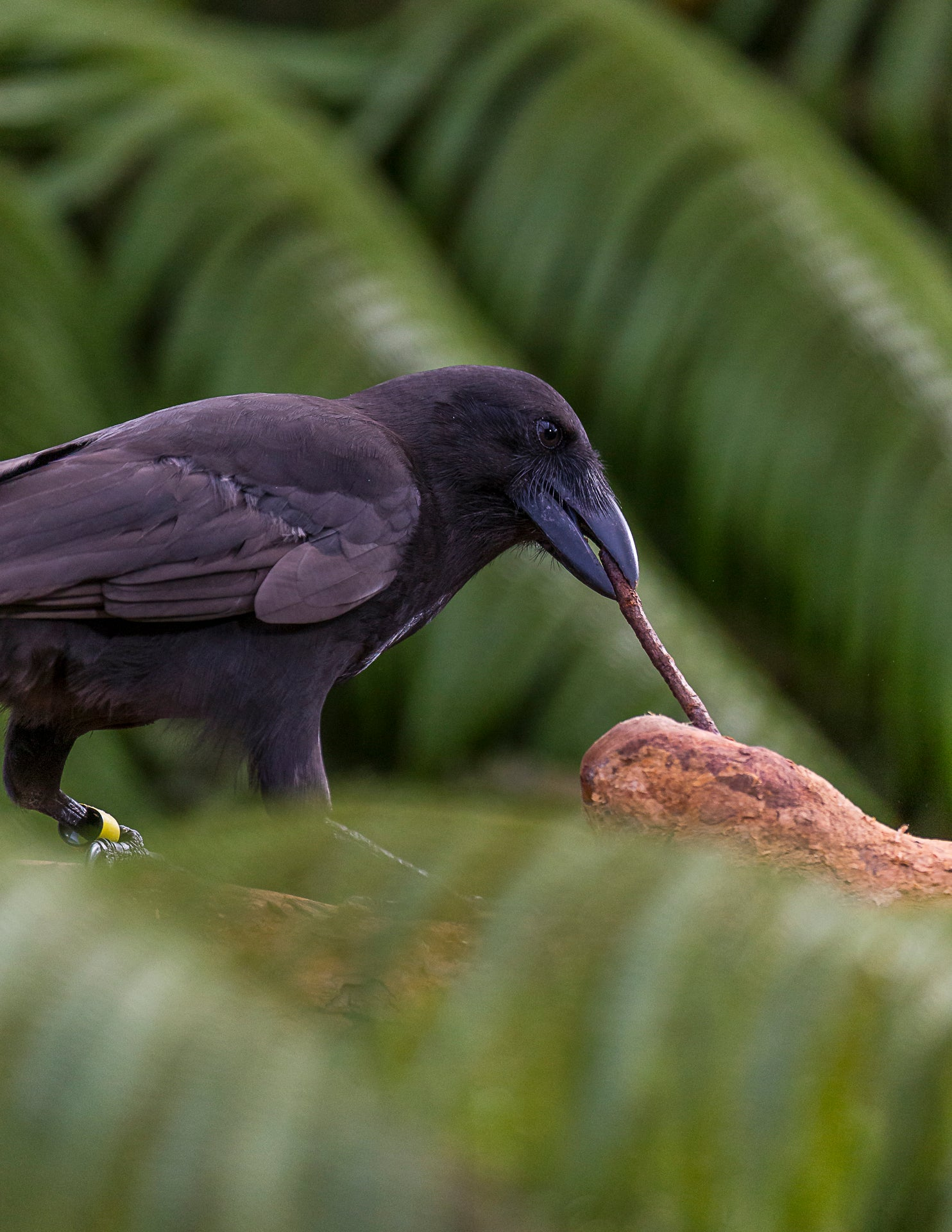 a hawaiian crow forages with a stick