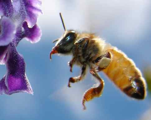 Bees Can Be Trained to Recognize Human Faces