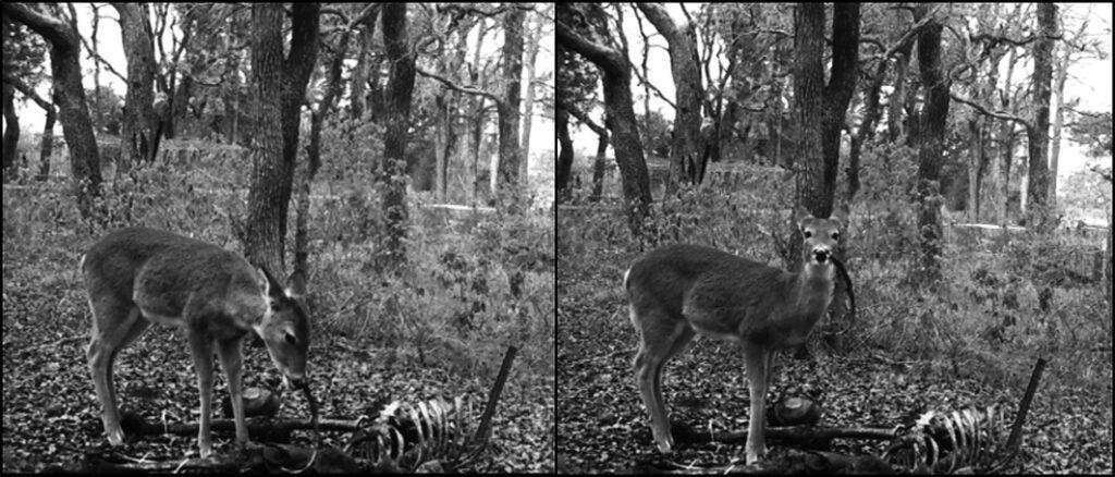 deer eating a carcass