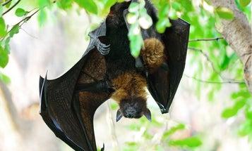 Holy Harp Trap, Batman! The gear researchers use to study bats