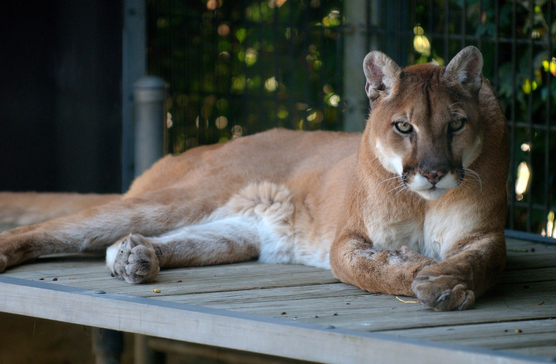 Mountain Lions are so scared of humans that the sound of talk radio sends them running