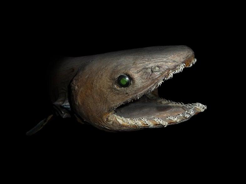 stuffed frill shark head