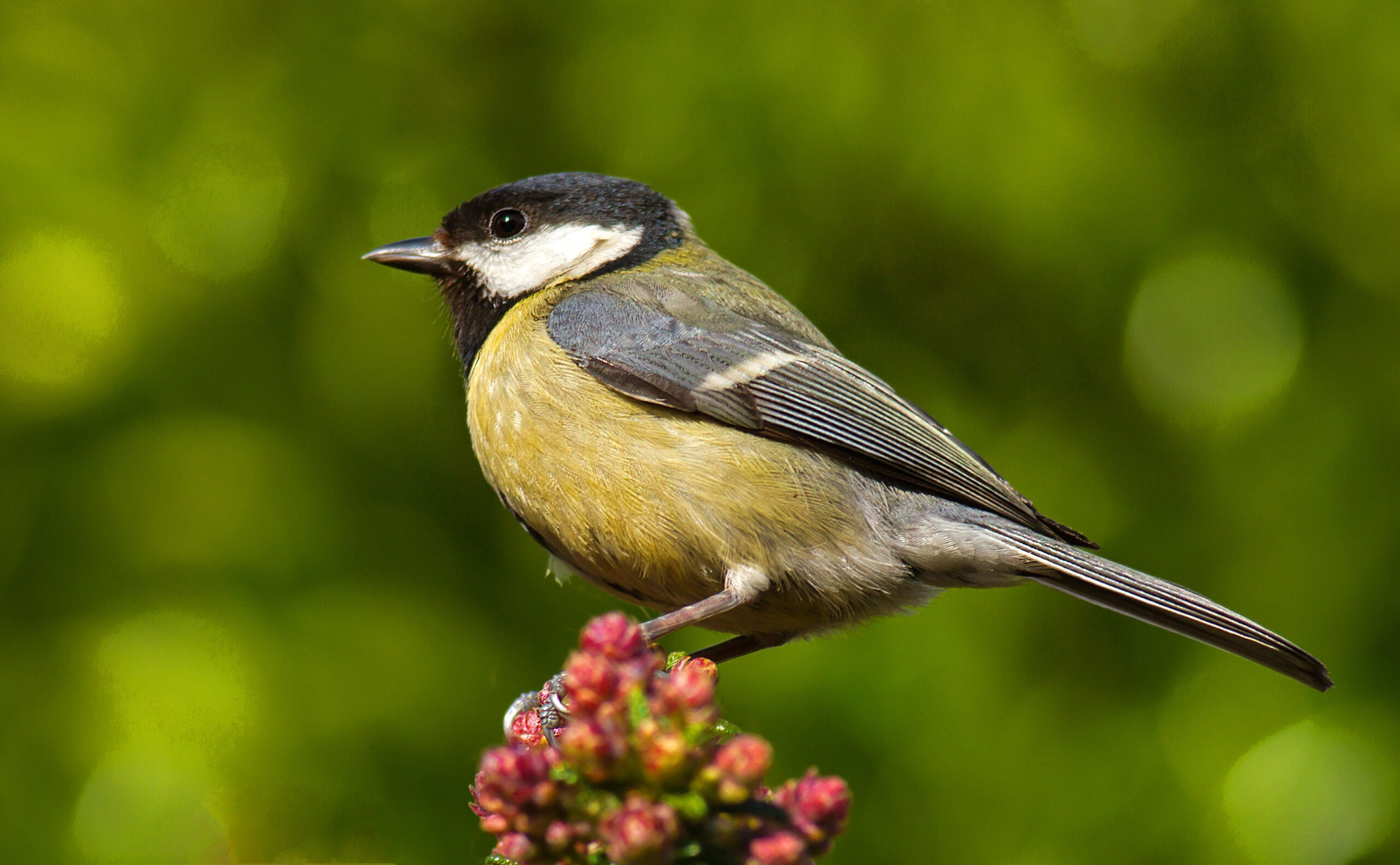 a great tit perches on some foliage