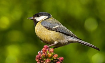 Great tits are killing birds and eating their brains. Climate change may be to blame.