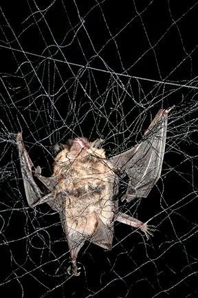 Mist net bat tangled